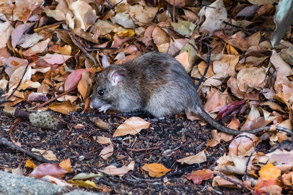 Les rats : un fléau dans les grandes métropoles